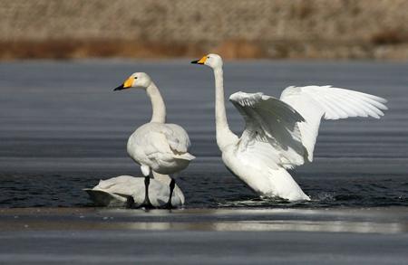 春游活动,观天鹅,赏苍鹭